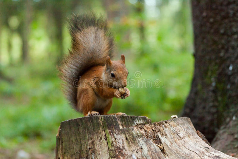 Download Squirrel is eating a nut stock photo. Image of front - 33537080