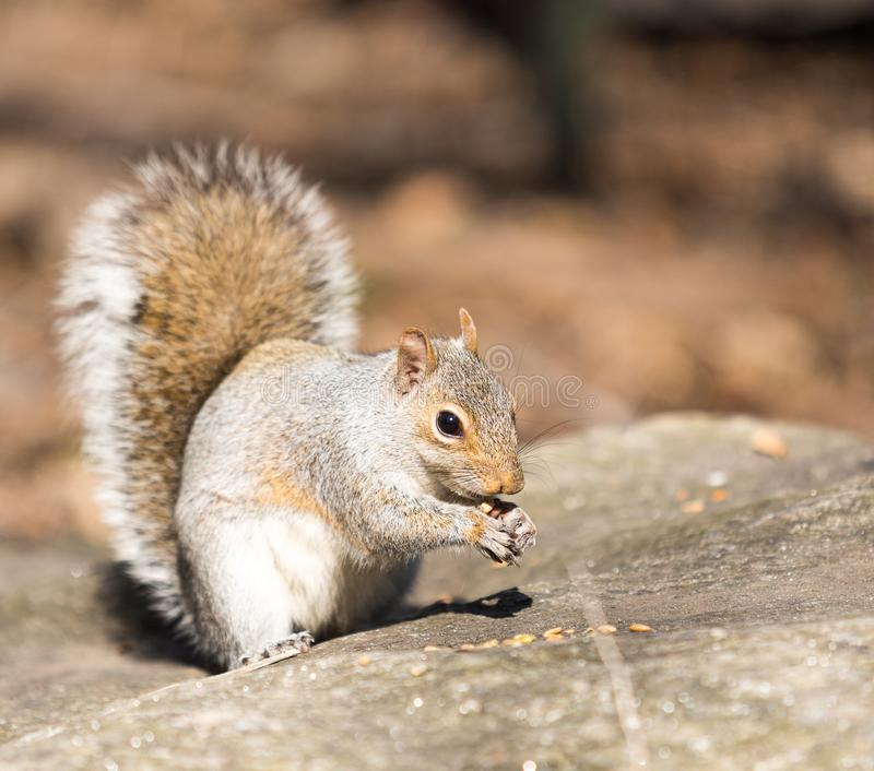 Squirrel eating pieces of nuts left by tourists in Central Park, Manhattan royalty free stock image