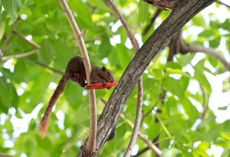 Squirrel Eating Red Flower Bud on a Tree Branch. Closeup Squirrel Eating Red Flower Bud on a Tree Branch royalty free stock images