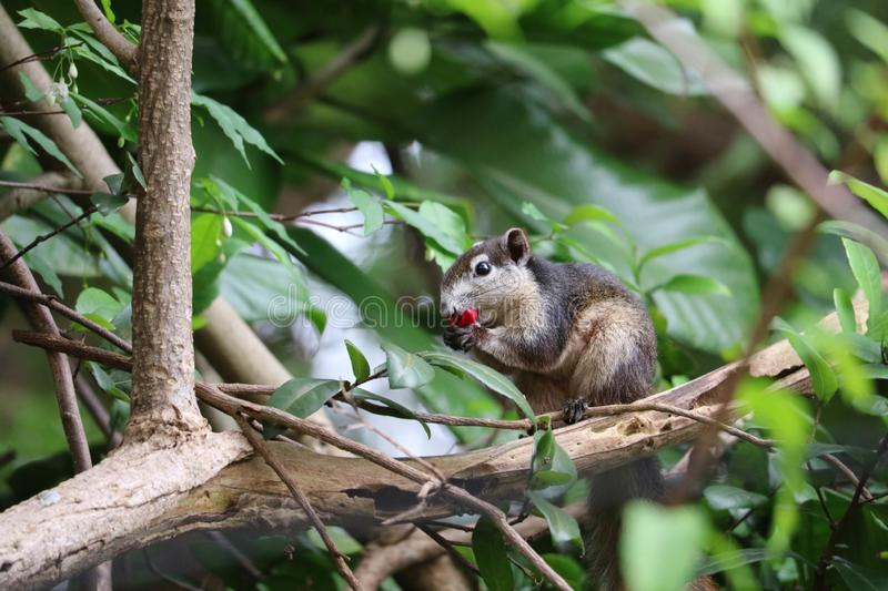 A squirrel eating red fruit on a branch in the garden. In rain season, animal, background, banana, basket, beautiful, beauty, bright, brown, cherry, chipmunk royalty free stock photography