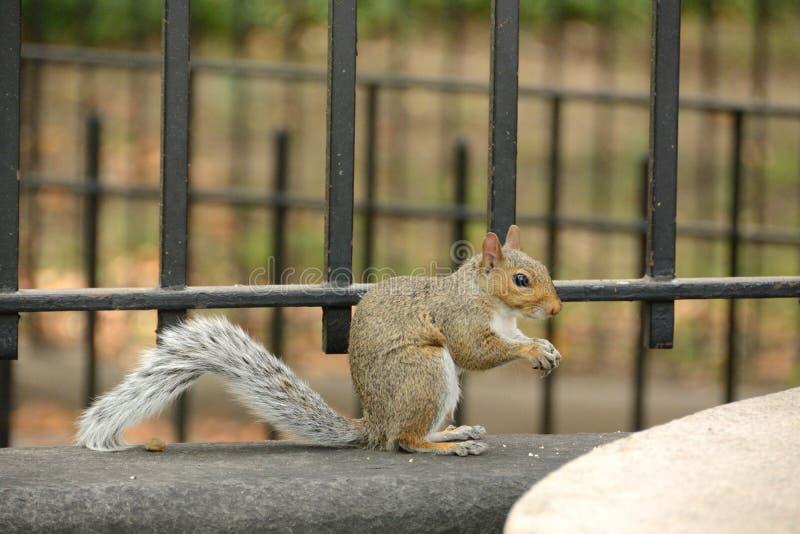 Squirrel eating royalty free stock photos