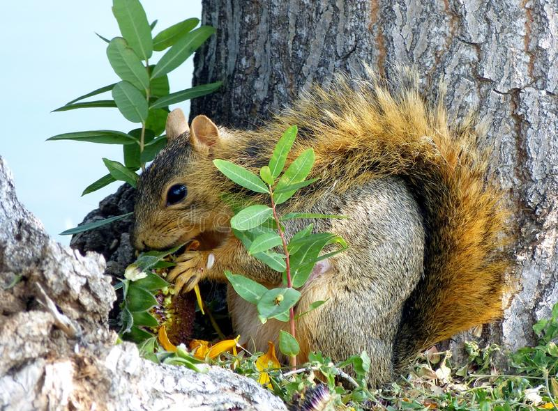 Squirrel eating a sunflower head royalty free stock photos