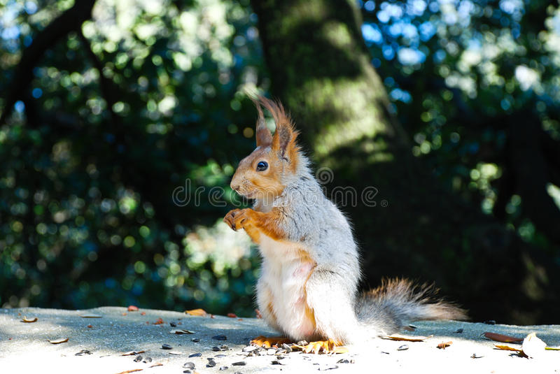 Download Squirrel Eating Sunflower Seeds Royalty Free Stock Photos - Image: 16412818