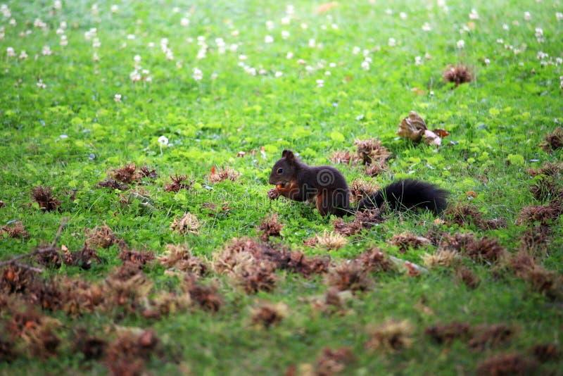 The squirrel eats a hazelnut. Wildlife stock photography