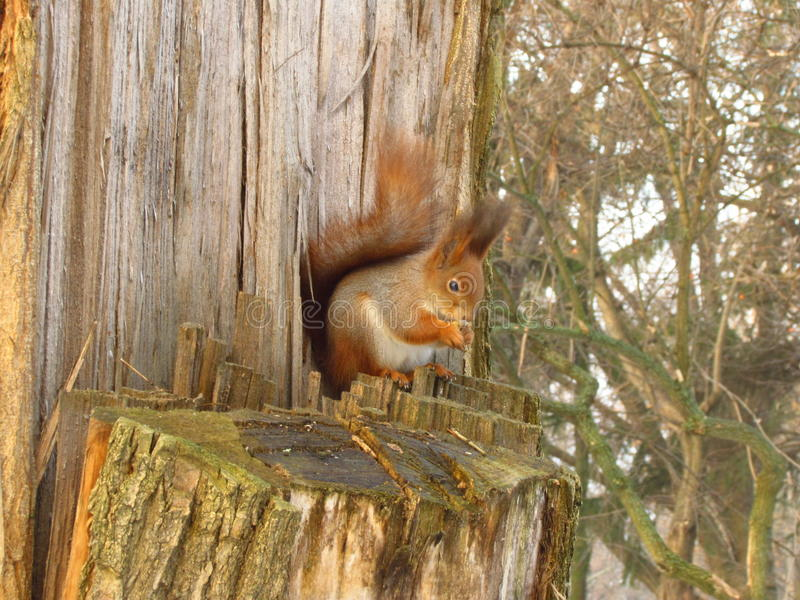 Squirrel. A squirrel eats a nut in winter royalty free stock images