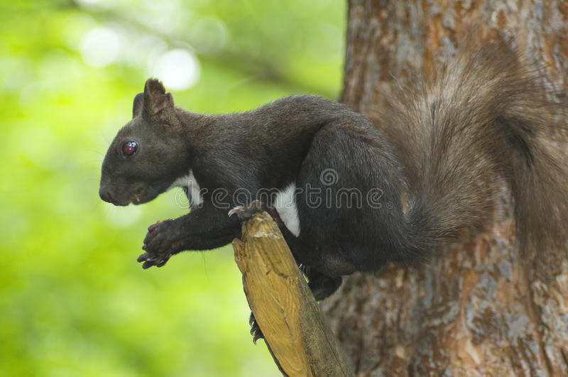 Download Squirrel eats nuts stock image. Image of pictures, small - 32261897