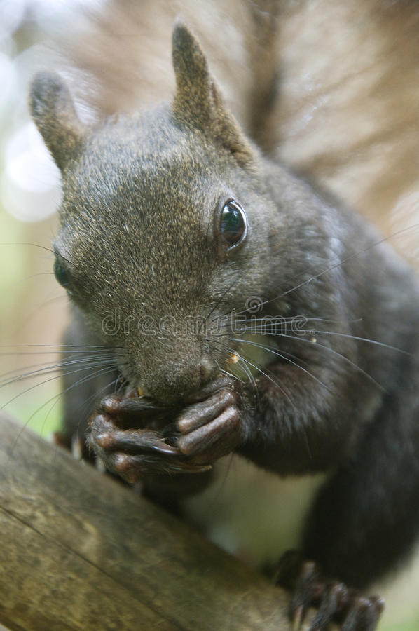 Download Squirrel eats nuts stock image. Image of backgrounds - 32262083