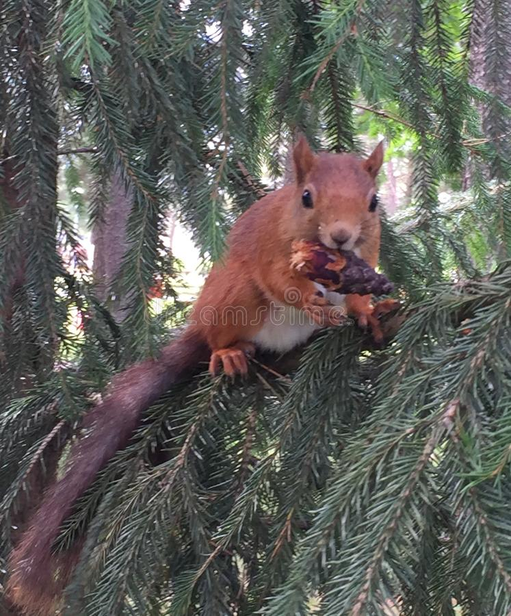 Squirrel eats in the tree. stock photography
