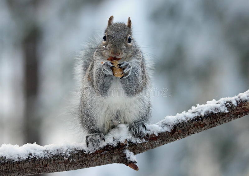 Squirrel Enjoying a Nut. A cute eastern gray squirrel (Sciurus carolinensis) in winter sitting on a snowy tree branch eating a nut royalty free stock image
