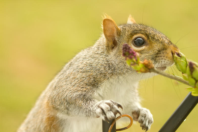 Download Squirrel Enjoyment stock photo. Image of beauty, looking - 18894726