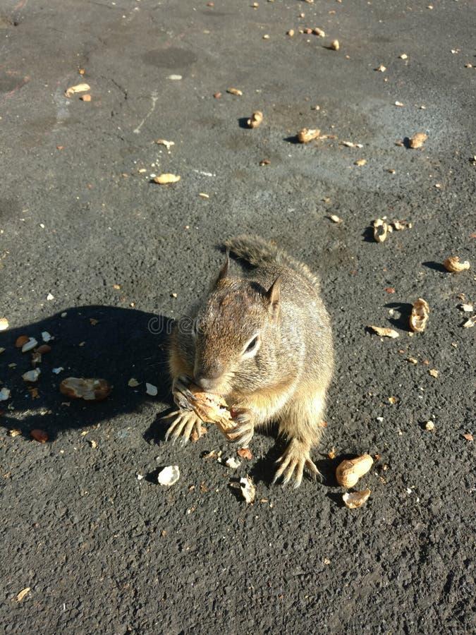 Squirrel. Essj park squirrel sunshine daytime stock images