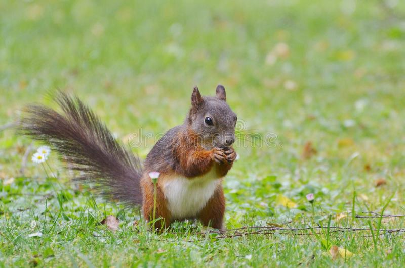 Squirrel, Fauna, Mammal, Fox Squirrel royalty free stock image