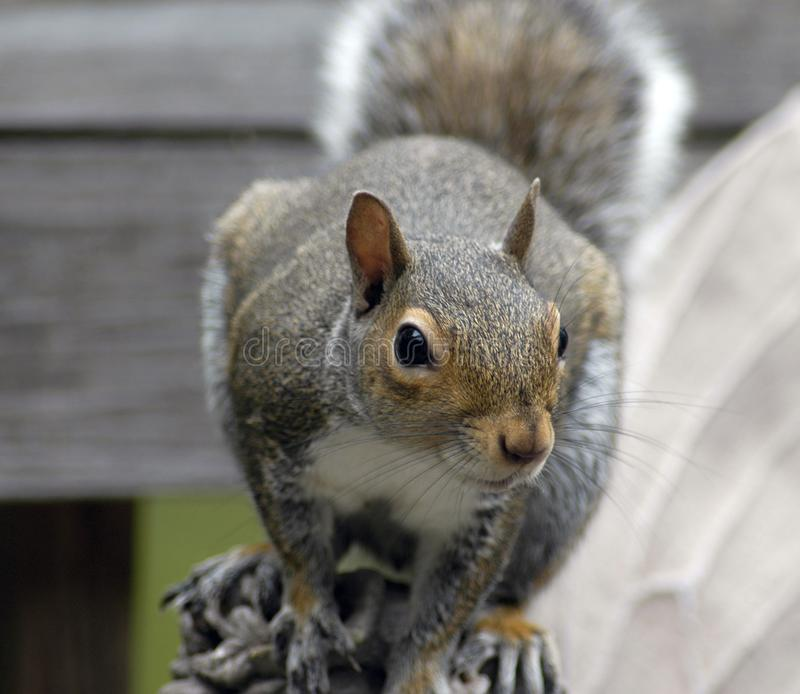 Squirrel Feeding Free Stock Image