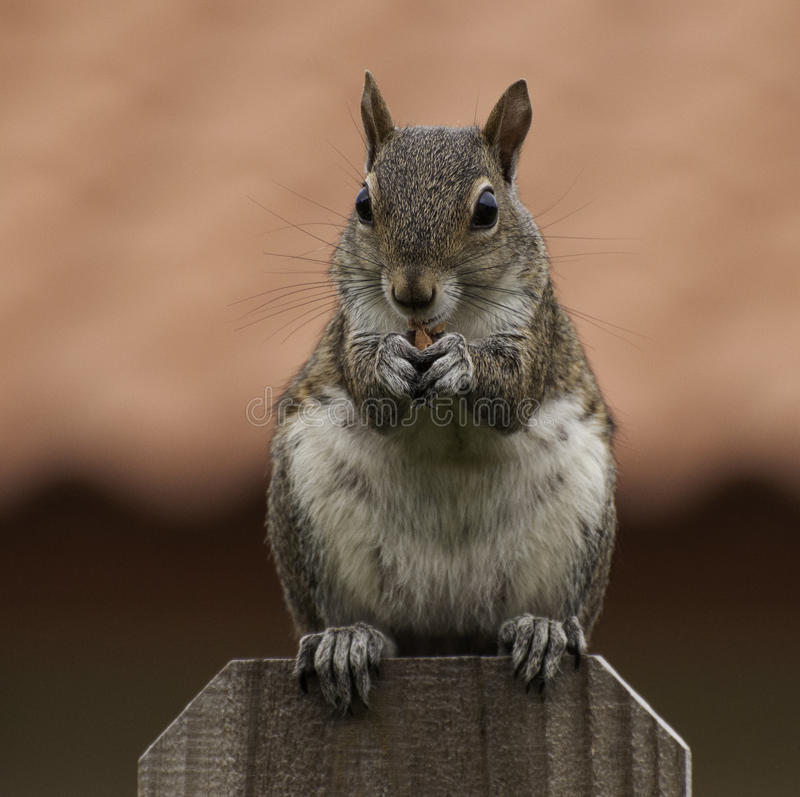Squirrel On Fence Eating A Peanut Royalty Free Stock Photos