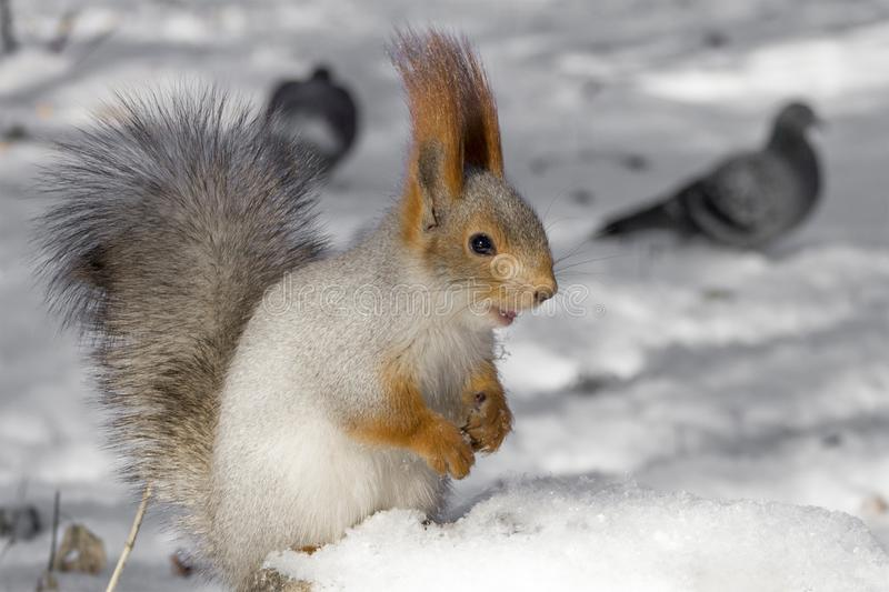 Squirrel with a fluffy tail. It is conveniently located on a stone covered with snow. One of the walks in the park. A protein with a fluffy tail. It is stock images
