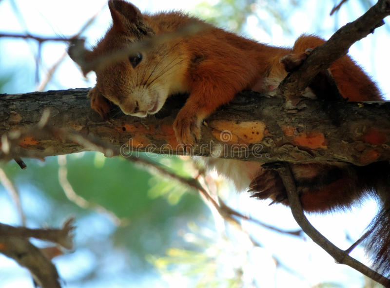 Download The Squirrel Stock Photo - Image: 43173145
