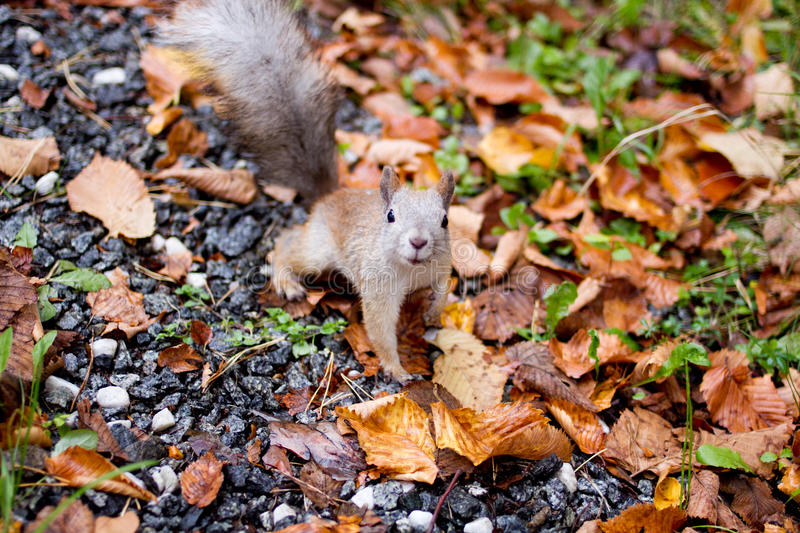 Squirrel in the forest stock photography