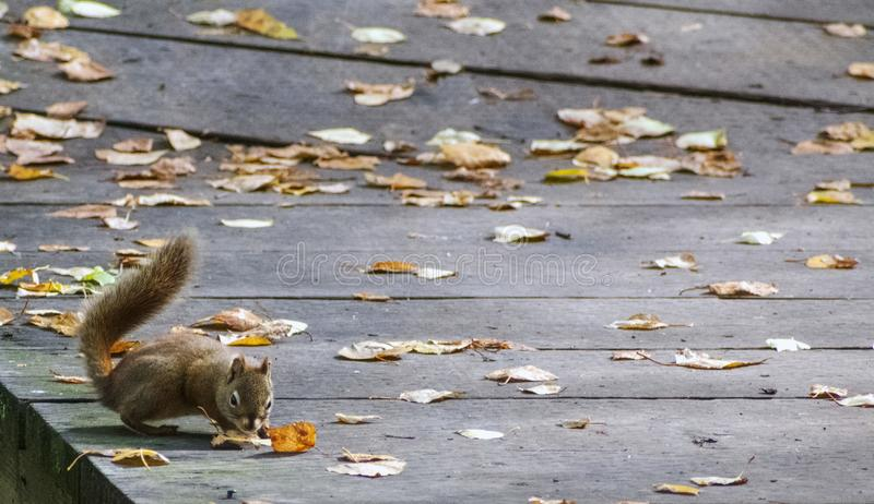 Squirrel on forest walk way in autumn leaves, in Alaska, Nature and Landscape Photography, Royalty Free Stock Photos, Exclusive. Squirrel on forest walk way in royalty free stock image