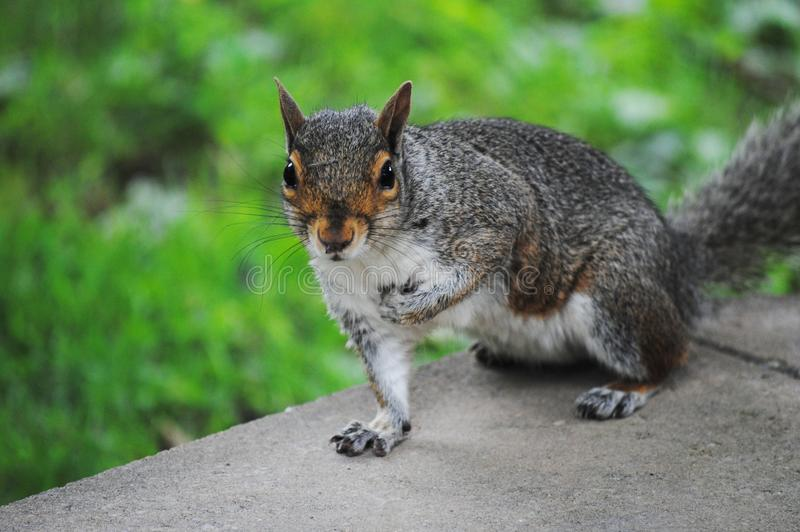 Download Squirrel stock photo. Image of brown, common, rodent - 43136050