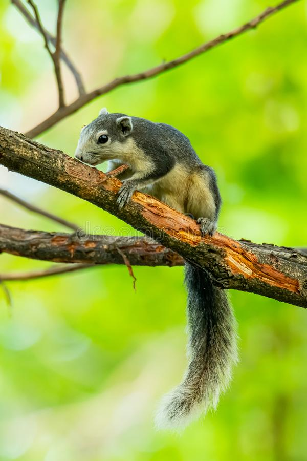 Squirrel gnawing branch bark on a tree. Bangkok, Thailand stock photos