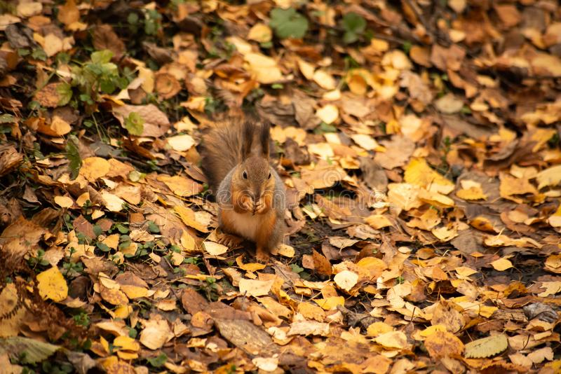 Squirrel gnaws a nut. In autumn, dig, animal, cute, fur, brown, mammal, wildlife, nature, outdoor, rodent, natural, closeup, forest, small, fluffy, park, furry royalty free stock images