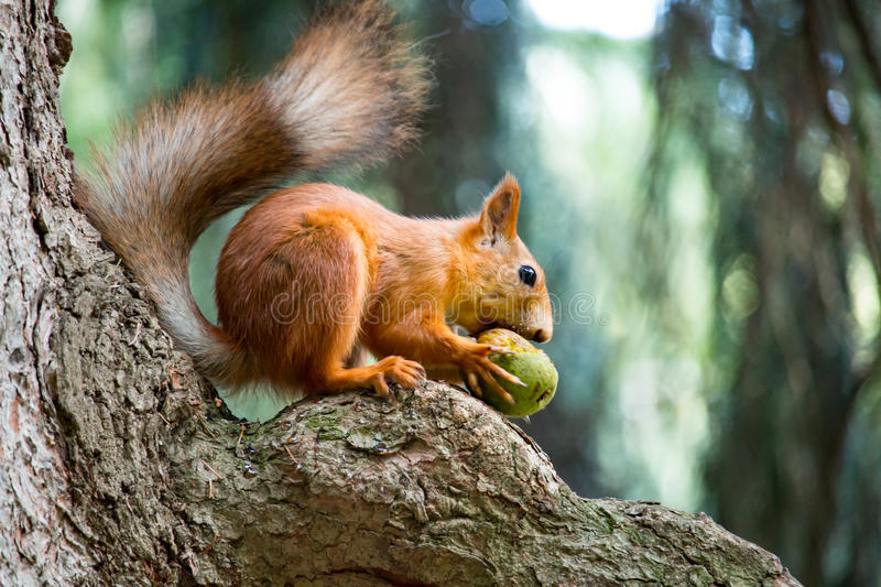 Squirrel gnaws a nut in tree. Squirrel gnaws a nut in a tree in the daytime royalty free stock photos