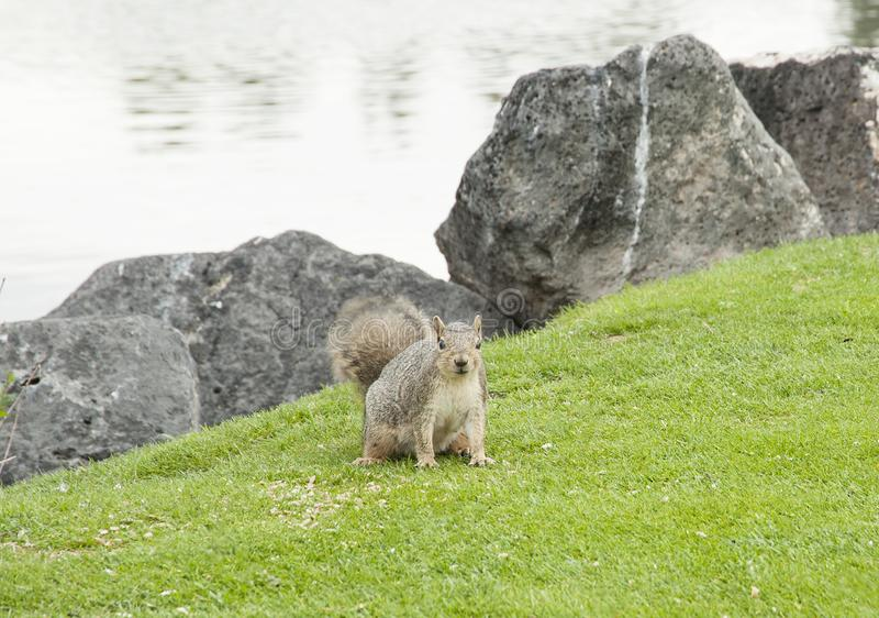 Squirrel on Idaho Falls Greenbelt. Squirrel on grass at edge of Idaho Falls Greenbelt near river royalty free stock images