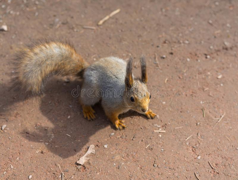 Beautiful squirrel outdoors red color stock photos