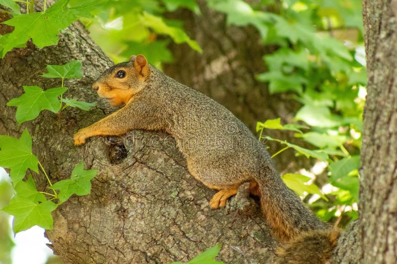 Squirrel hanging out in a tree. Enjoying the sunshine of summer royalty free stock photos