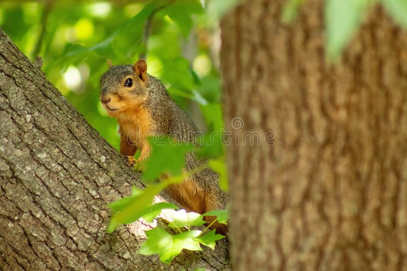 Squirrel hanging out in a tree. Enjoying the sunshine of summer stock image
