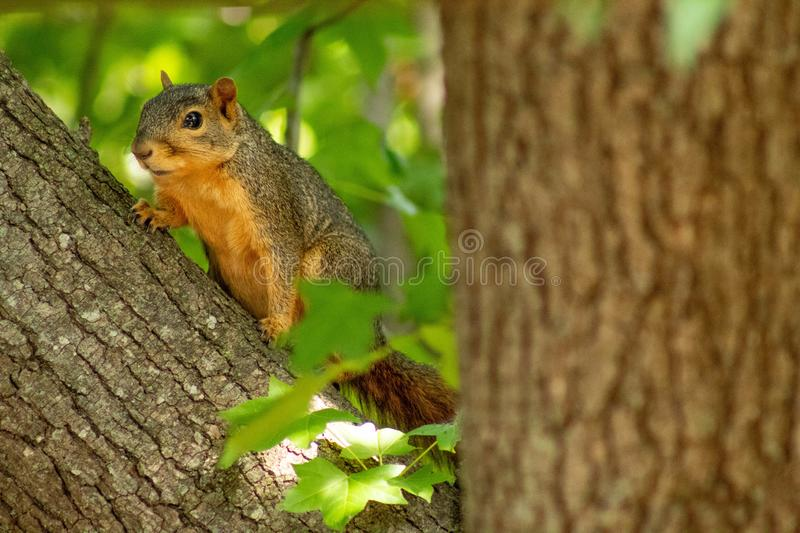Squirrel hanging out in a tree. Enjoying the sunshine of summer royalty free stock photography