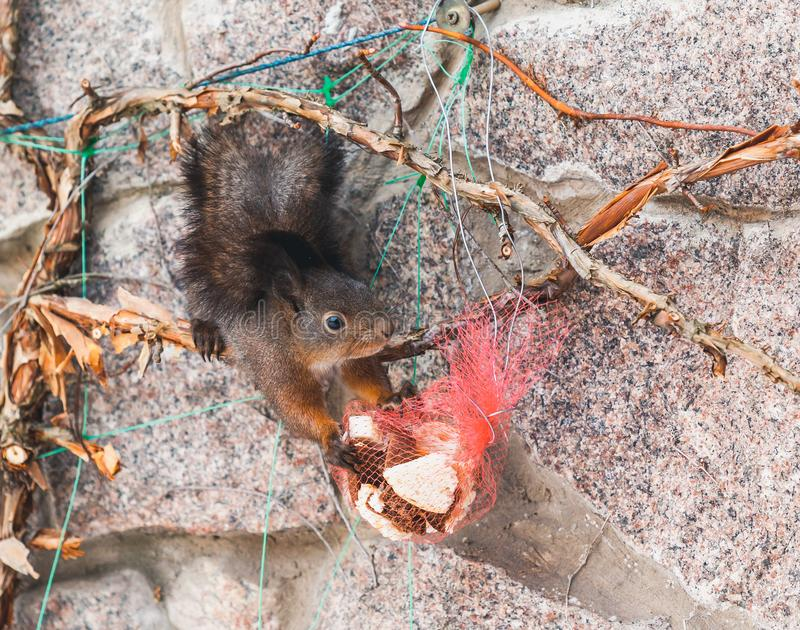 Squirrel hangs upside down on fence and gnaws on biscuits. Lunch head down. Fluffy squirrel squirrel hangs upside down on a stone fence and gnaws biscuits from a royalty free stock image
