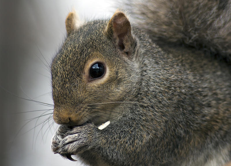 Squirrel having a snack royalty free stock photo
