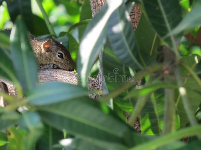 Squirrel hiding on tree top stock photos