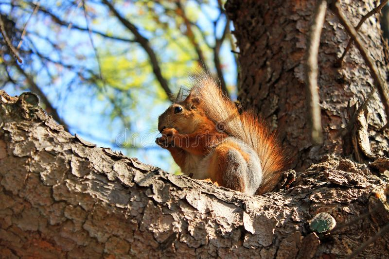 Squirrel on a high tree gnawing nuts on a spring day against a clear sky. A red squirrel on a high tree with unopened leaves gnawing nuts on a spring day against stock image
