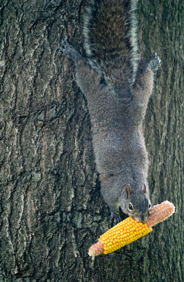 Squirrel Holding Corn. A squirrel hanging upside down on a tree as he holds a corn cob stock photography