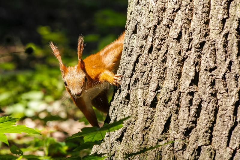 Squirrel holding on the tree in Lazienki park, Warsaw, Poland. Orange squirrel holding onto the bark of a tree in Lazienki park, Warsaw, Poland stock photography