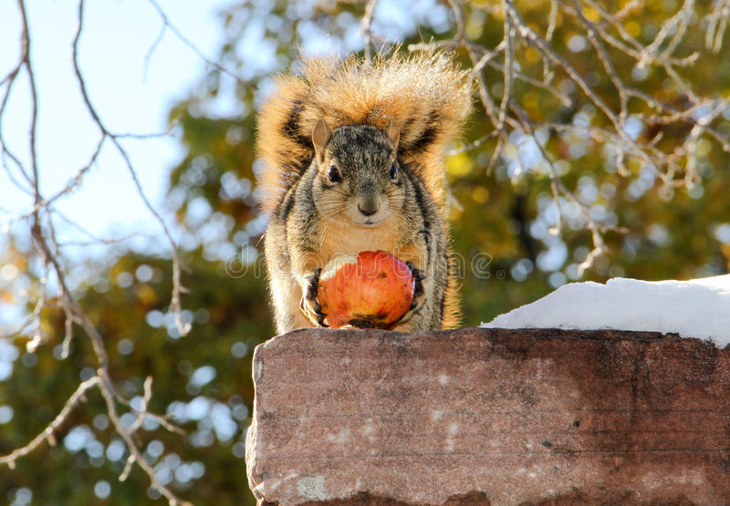 Download Squirrel Holding Winter Apple Stock Image - Image: 35106171