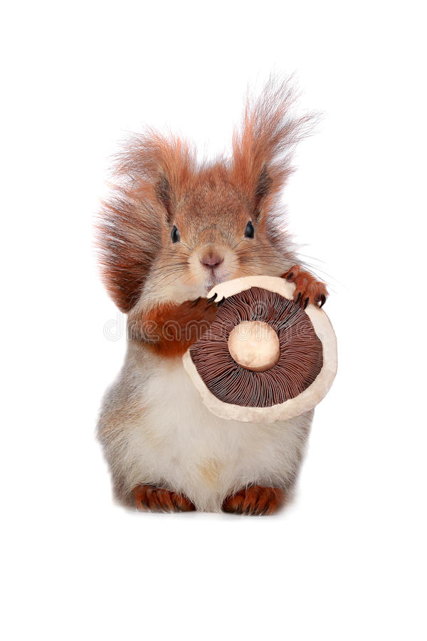 Download Squirrel stock photo. Image of rodent, portrait, squirrel - 30253376