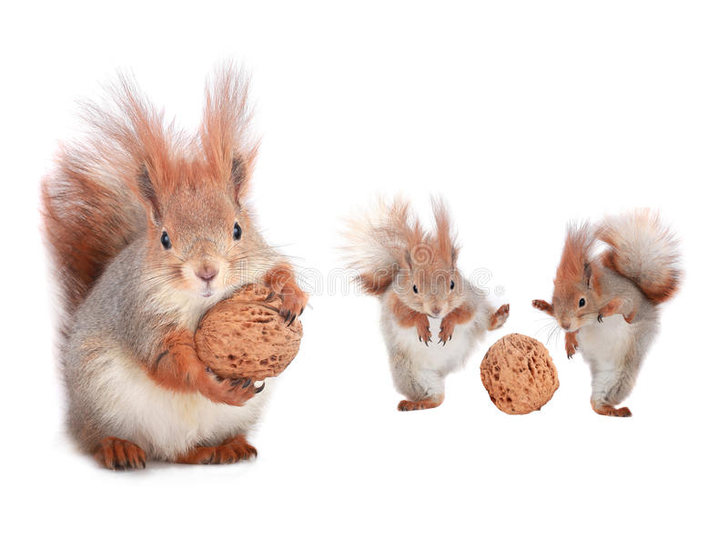 Download Squirrel stock image. Image of friendly, nature, macro - 33549917