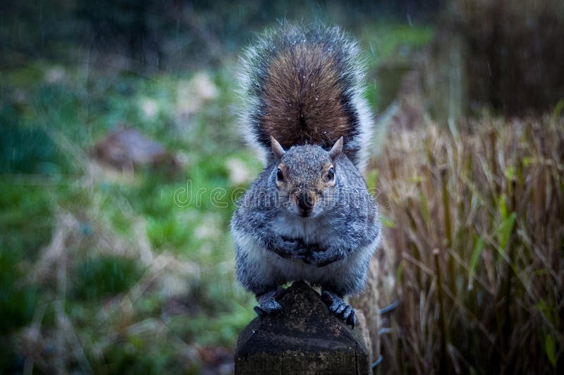 Download Squirrel in Holland Park stock photo. Image of rodents - 30394584
