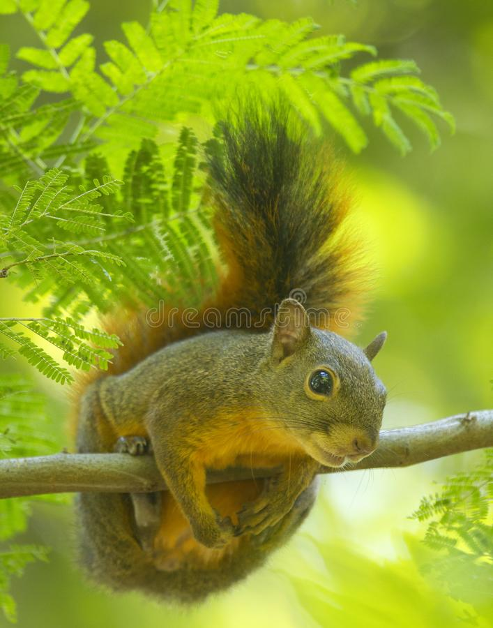 Friendly squirrel in the humid forest. A friendly squirrel isolate in the humid forest Venezuela royalty free stock photos