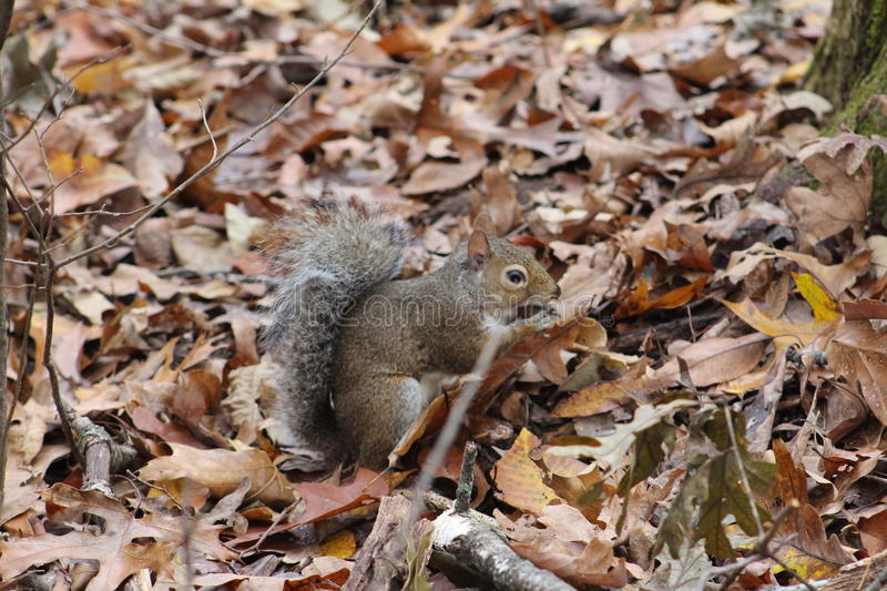 Squirrel hunting for nuts stock photography