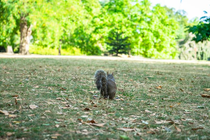 Squirrel on Hyde Park in London, England, UK stock images