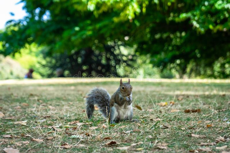 Squirrel on Hyde Park in London, England, UK stock image