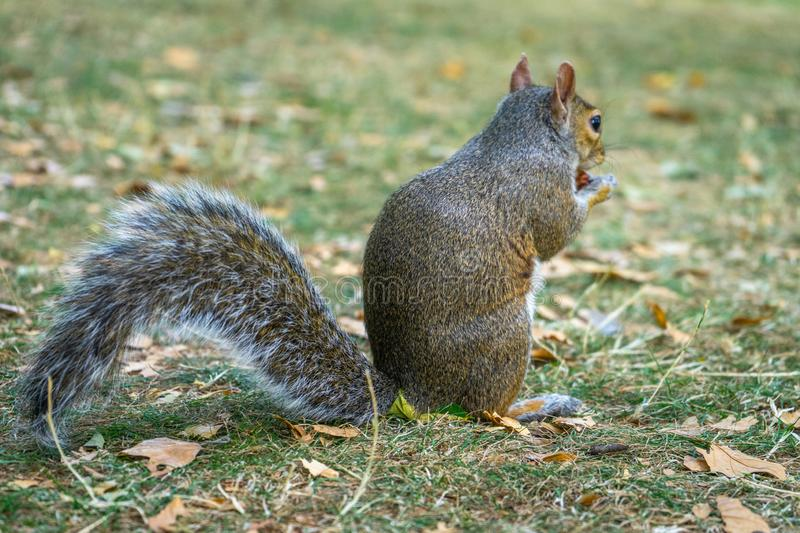 Squirrel on Hyde Park in London, England, UK. Animal, architecture, beautiful, britain, british, city, cute, england, english, europe, garden, green, hyde royalty free stock photos