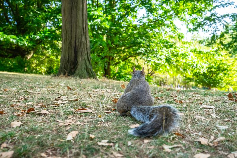Squirrel on Hyde Park in London, England, UK. Animal, architecture, beautiful, britain, british, city, cute, england, english, europe, garden, green, hyde royalty free stock image