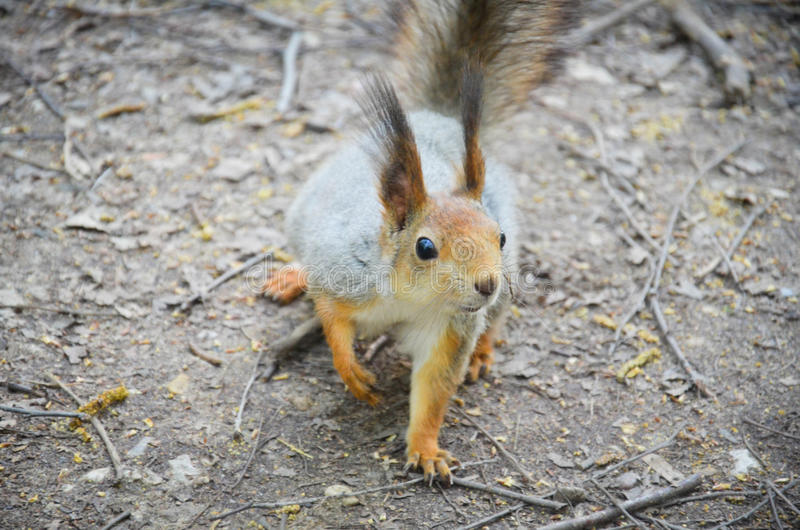 Squirrel. I found a cute squirrel in the park royalty free stock images
