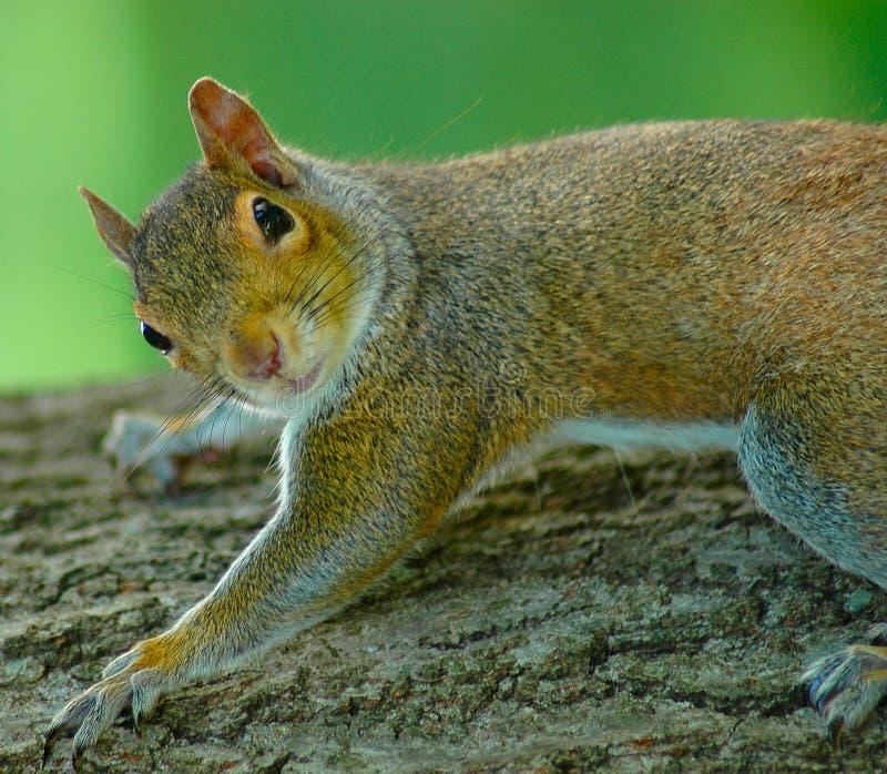Download Squirrel II Stock Photos - Image: 175343