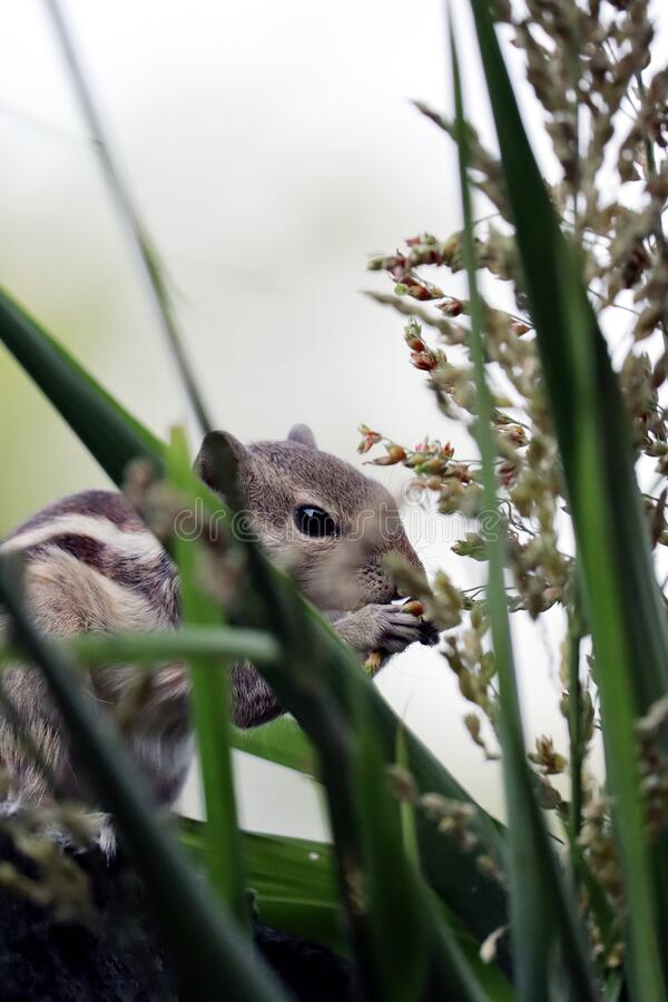 Free Squirrel Is Holding Grain And Eating Grain Royalty Free Stock Photo - 188833895